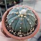Astrophytum asterias cv. nudum     CITES, not outside EU