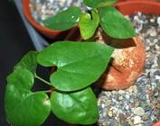Pyrenacantha