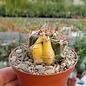Ferocactus spec. variegata