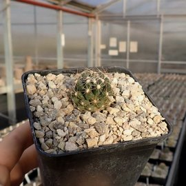 Escobaria missouriensis       (dw)