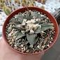 Ariocarpus trigonus v. confusus XL     CITES, not outside EU