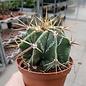 Astrophytum ornatum   Mexiko