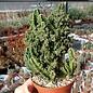 Cereus peruvianus cv. Florida Paolina
