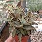 Kalanchoe tomentosa cv. Aurea