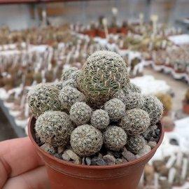 Sulcorebutia crispata  HR 027