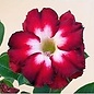 Adenium obesum cv. Fiery Star   gepfr.