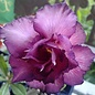 Adenium obesum cv. Purple Passion   gepfr.