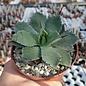 Agave potatorum cv. Kichijokan