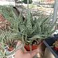 Aloe-Hybr. Dorianblack