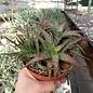 Aloe rauhii cv. Verde