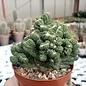 Cereus peruvianus monstruosus cv. Nudum