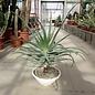 Aloe arborescens XL