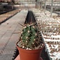 Echinocereus matudae arizonicus  Buenaventura, Chihuahua