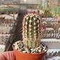 Echinocereus viridiflorus ssp. cylindricus
