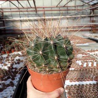 Hamatocactus hamatacanthus v. davisii