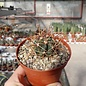 Ferocactus chrysacanthus-Hybr.