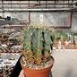 Ferocactus glaucescens