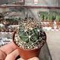 Ferobergia F2-Hybr.  PRIFOR / FOR