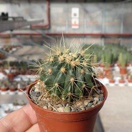 Ferocactus F2-Hybr. reppenhagenii x glaucescens