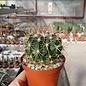 Ferocactus fordii v. borealis  El Rosario de Arriba, Baja California, Mexico