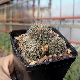 Lobivia densispina v. rebutioides f. sublimiflora