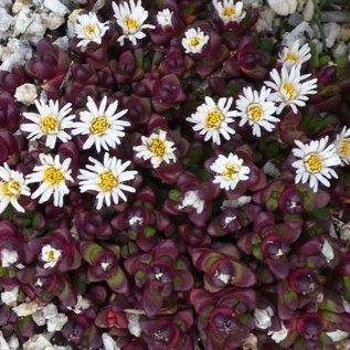 Delosperma alpina       (dw)