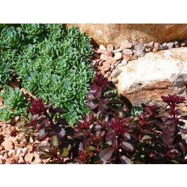 Sedum pachycladus       (dw)