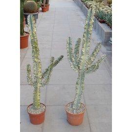 Euphorbia erythraea cv. Marmorata verzweigt