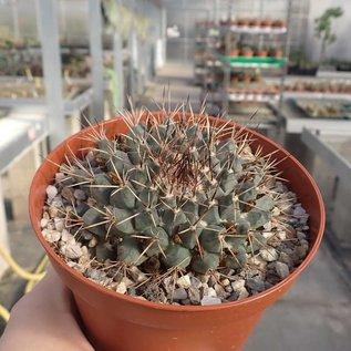 Mammillaria euthele