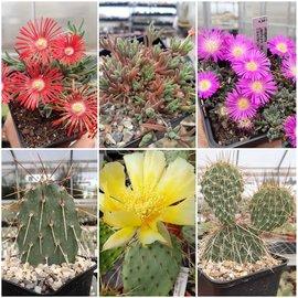 Oferta del mes: Opuntia & Delosperma (hardy)