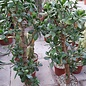 Crassula portulacea  XL   Geldbaum