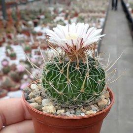Stenocactus multicostatus f. erectocentrus SB 286 Doctor Arroyo, Nuevo Leon, Mx