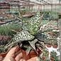 Aloe rauhii      CITES, not outside EU