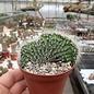 Neobuxbaumia polylopha     cristata