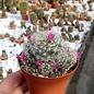 Mammillaria carmenae-Hybr. cv. roseiflora