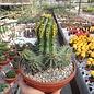 Euphorbia fruticosa