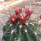 Ferocactus echidne v. rhodanthus