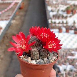 Sulcorebutia sp.n.  HS 140 Torotoro, Potosi, Charcas, Bolivien