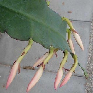 Disophyllum-Hybr. Korbinian   Blüte weiß-rosa-gelb / white-rose-yellow