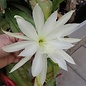 Epiphyllum-Hybr. Vergeletto