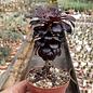 Aeonium arboreum v. atropurpureum cv. Schwarzkopf