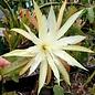 Epiphyllum-Hybr. Gresso
