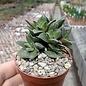 Crassula cv. Frosty