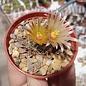 Escobaria emskoeteriana