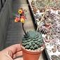 Echeveria rundelli cv. Blue Miracle