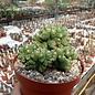 Cereus peruvianus monstruosus    cristata