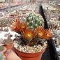 Echinocereus chloranthus ssp. blumii DU 042 road to Santo Domingo heading North, hill West of road at km 40-50, Coah, MEX