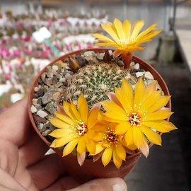 Sulcorebutia breviflora v. (Blüte gelb) L 314 Rio Caine, Bolivien
