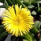 Glottiphyllum fragans
