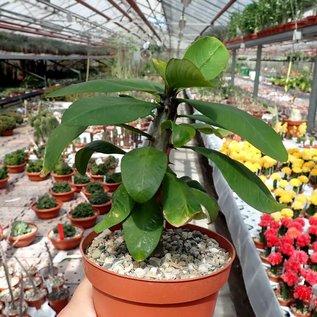 Euphorbia milii cv. Super Amarillo